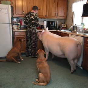 Свинья на кухне