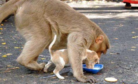 Обезьяна кормит щенка