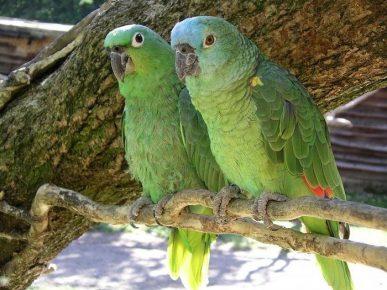 Попугаи породы амазон в природе