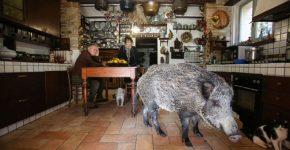 Дикая свинья в доме