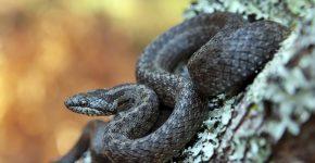 чёрная змея
