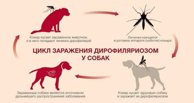 цикл заражения дирофиляриозом у собак