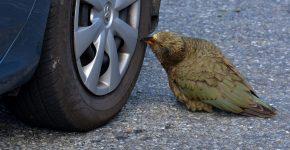 попугаи кеа разбирают машину.