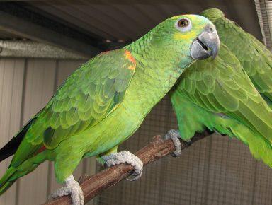 Попугаи породы амазон