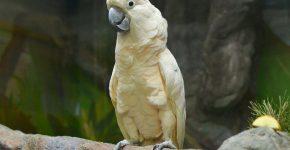 Белый какаду