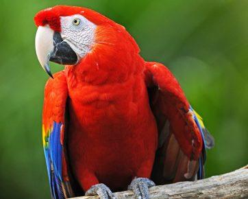 Красный ара на природе