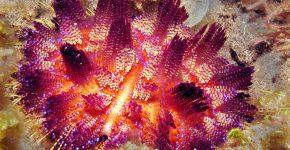 огненный морской ёж