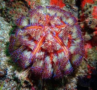 иглоподушечный морской ёж
