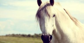 Морда белого коня
