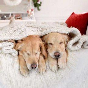Ретриверы спят