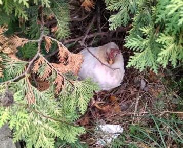 Курица в кустах