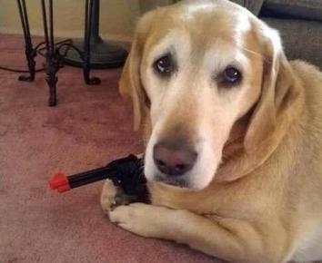 Лабрадор с пистолетом