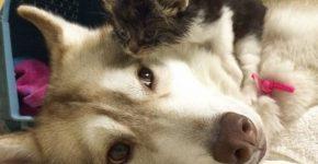 Котёнок и хаски