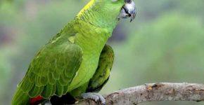 попугай породы амазон