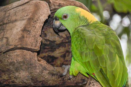 Попугай породы амазон в природе