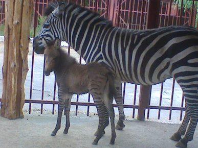 Зебра с детёнышем
