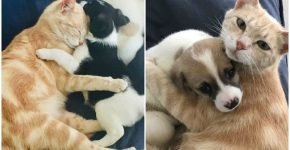 Коллаж: кошка со щенками