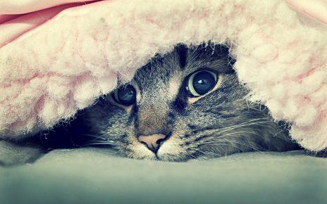Кот под покрывалом
