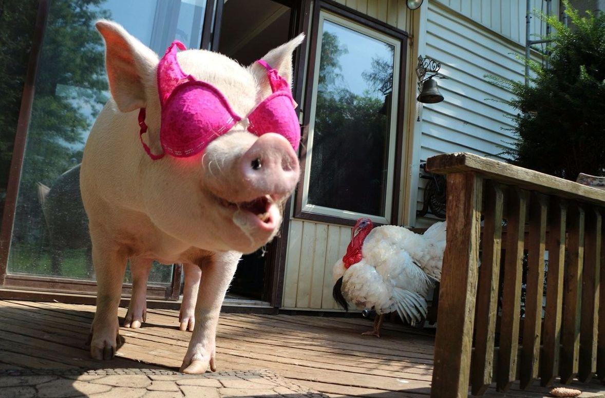 Картинки с прикольными свиньями благодаря