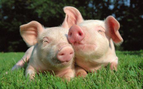 смешные фото свиней