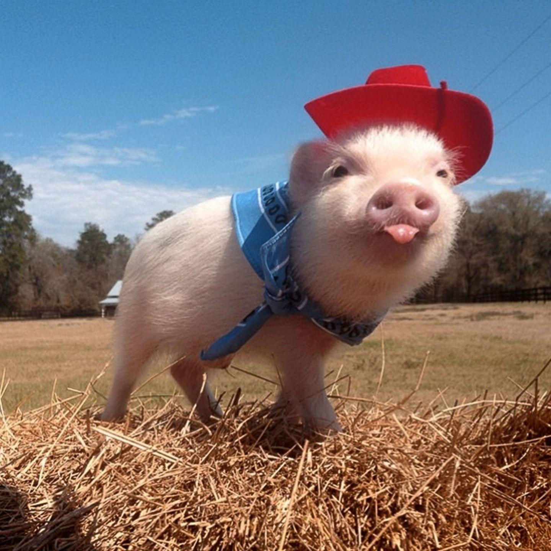 как ржачные картинки год свиньи встретились