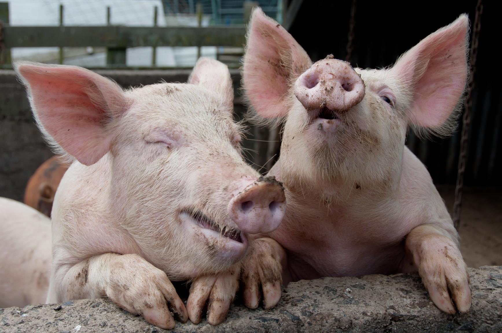Приколы картинки со свиньями