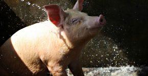 Смешные фото свиней: развеиваем скуку