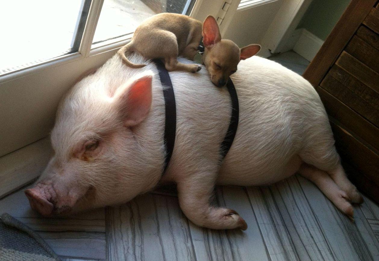 Смешные картинка свиньи