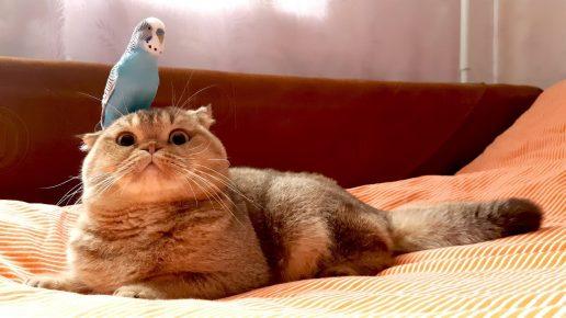 Попугай на голове у кота