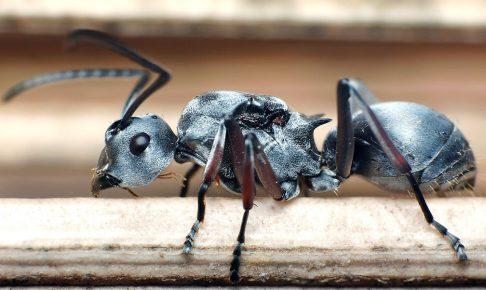 серебряный муравей