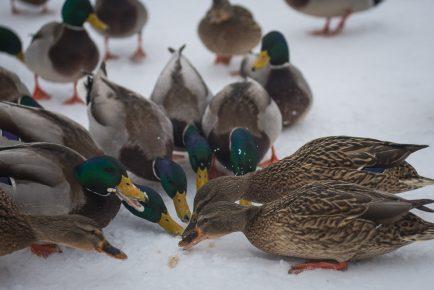Дикие утки собирают крошки хлеба на снегу