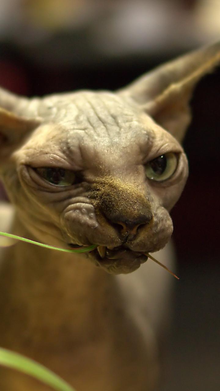 Веселое, лысые кошки смешные картинки