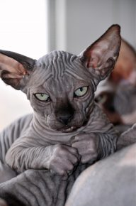 смешная лысая кошка