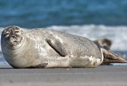 смешной тюлень