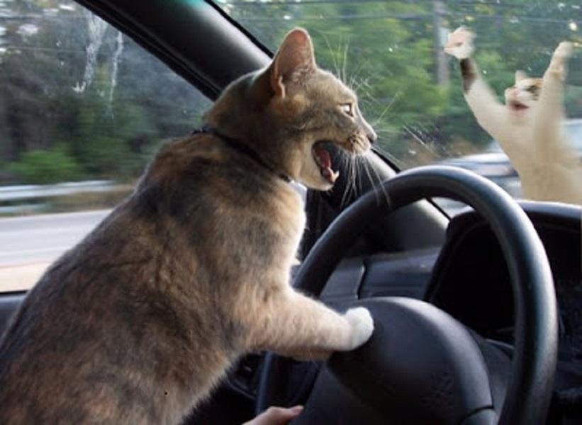 обещаем фото кошки за рулем прикольные счету этой