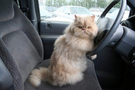 кот за рулем