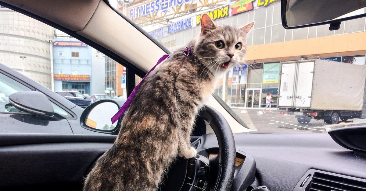 Фото кошки за рулем прикольные