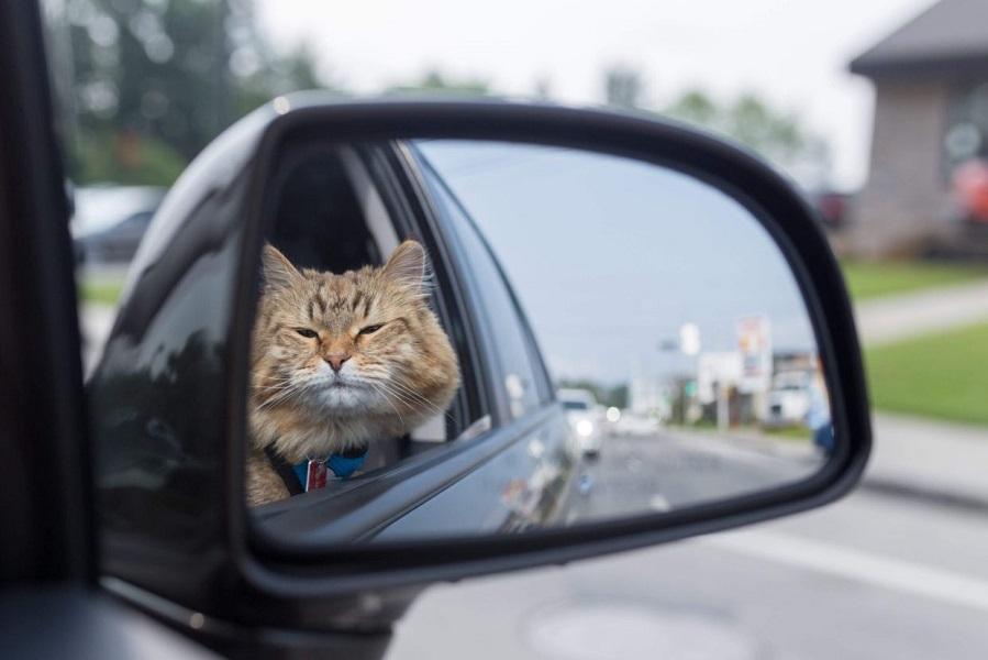 фото кошки за рулем прикольные уделяет много времени