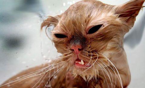 мокрая кошка