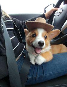 корги в шляпе