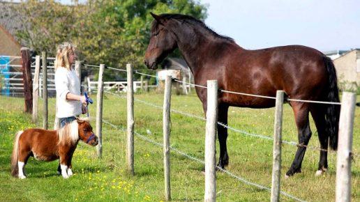 Мини-лошадь и обычный конь