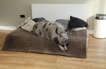 Кровать для свинки