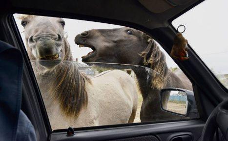 Кони заглядывают в автомобиль