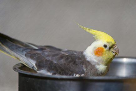 Попугай в миске