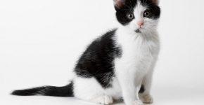 Бело-чёрный кот