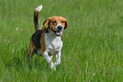 радостная собака бежит в поле