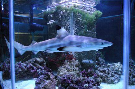 Рифовая чернопёрая акула
