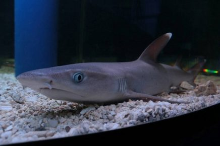 Рифовая белопёрая акула