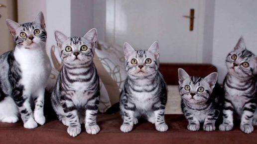 Полосатые кошки