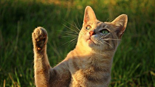 Кошка тянет лапку